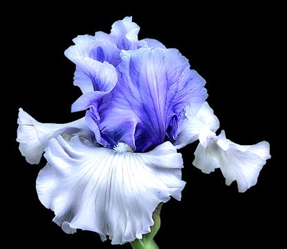 irisbluepng