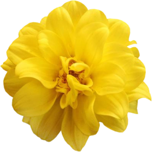 Image gallery for : yellow roses png