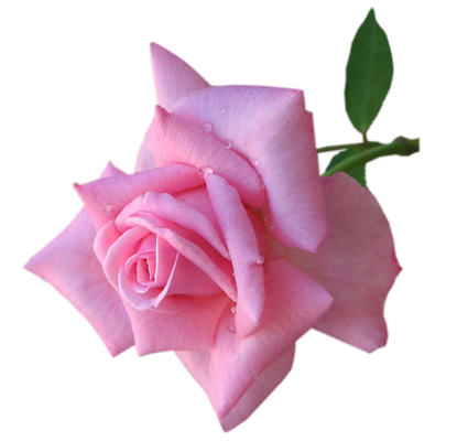 index of /users/tbalze/flower/roses/png, Beautiful flower