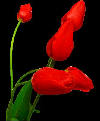 Index Of Users Tbalze Flower Tulip